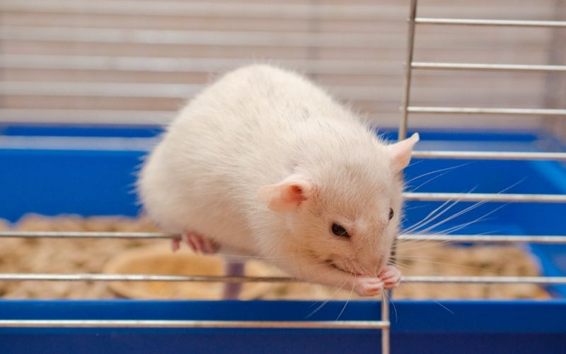 Tips on cleaning pet rat cages