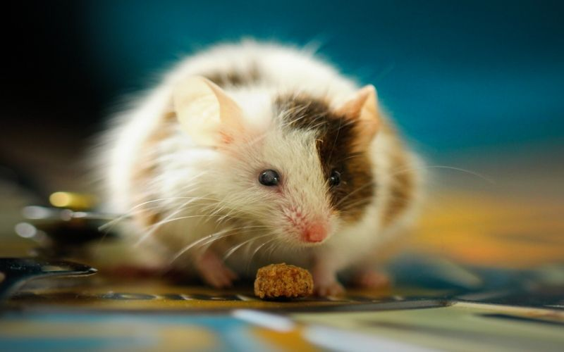 A guide to Mice care