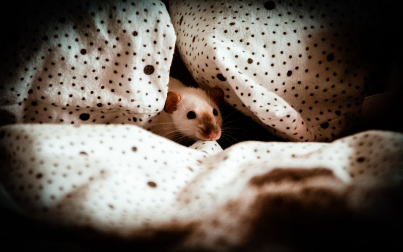 Keeping and Caring for Degu as pets