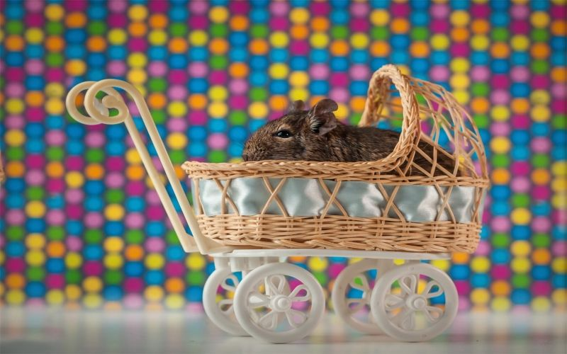 Degu vs chinchilla- Which pet is most suitable for you