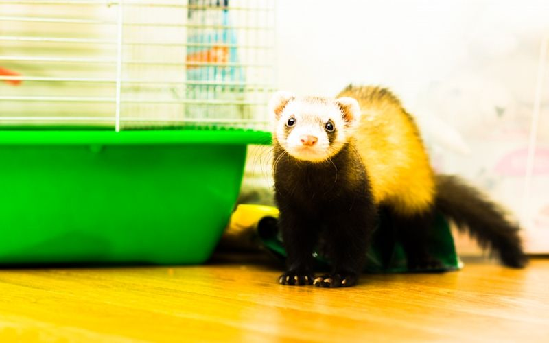 How to set up a ferret cage