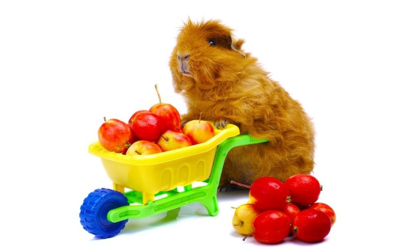 Is your Guinea pig fat?
