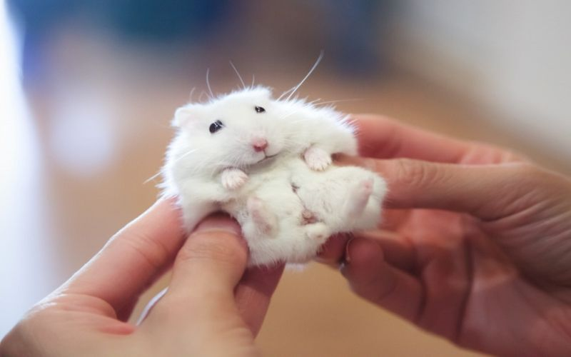 A Quick Guide To Caring For Your Pet Hamster