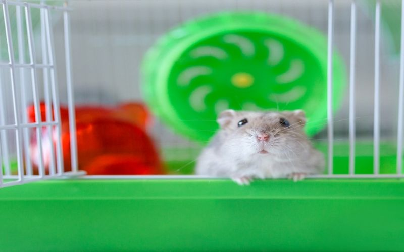 All You Need To Know About Your Pet Rat